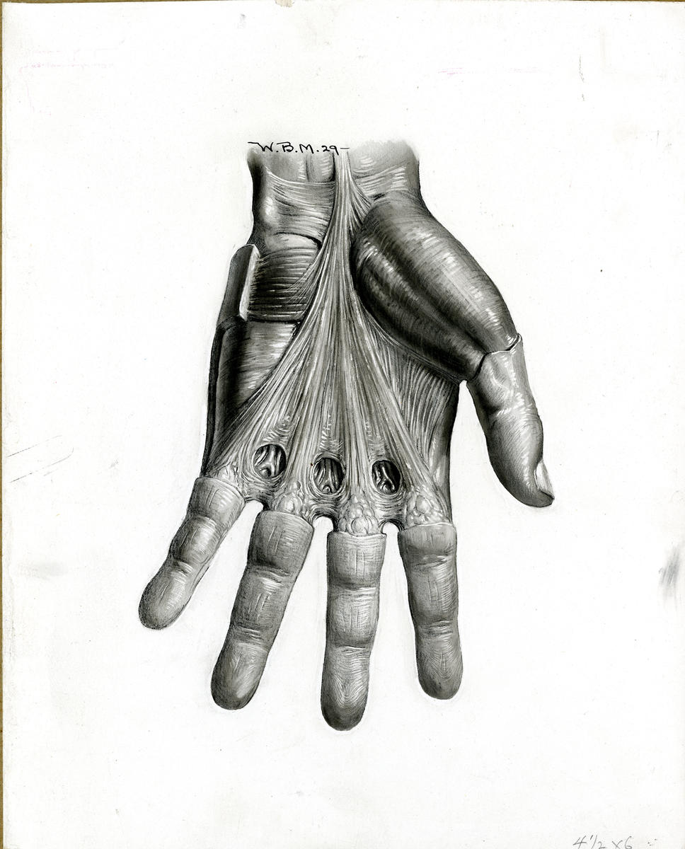 Palmar fascia, left hand; J. Deryl Hart Papers and Records